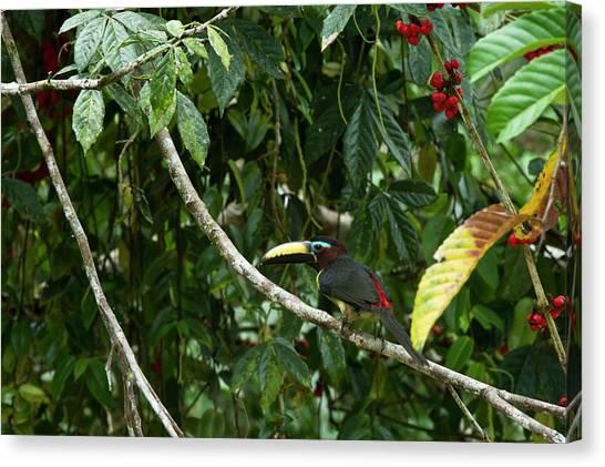 Ecuadorian Canvas Print - Lettered Aracari (pteroglossus by Pete Oxford