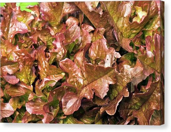 Salad Canvas Print - Lettuce 'salad Mix' by Adrian Thomas