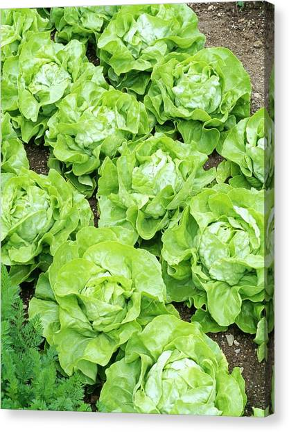 Lettuce Canvas Print - Lettuce 'unrivalled' by Geoff Kidd/science Photo Library