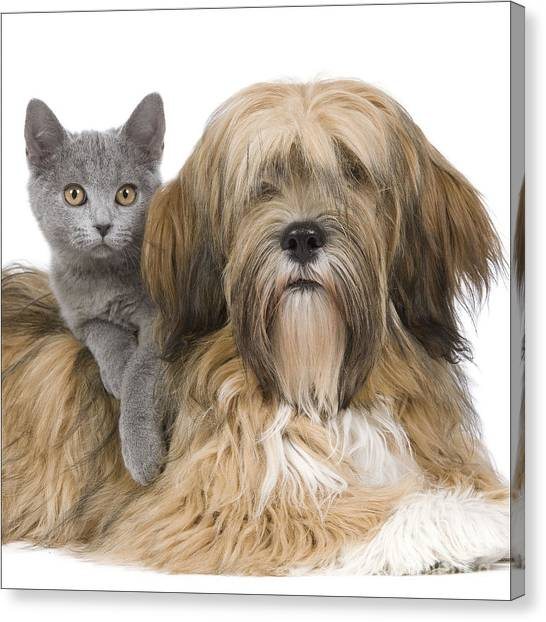Chartreuxes Canvas Print - Lhasa Apso And Chartreux Kitten by Jean-Michel Labat
