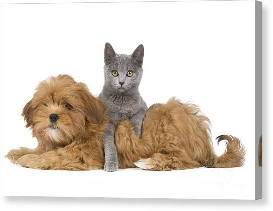 Chartreuxes Canvas Print - Lhasa Apso Pup And Kitten by Jean-Michel Labat