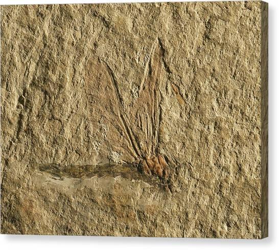 Libelluloidea Dragonfly Fossil Canvas Print by Gilles Mermet