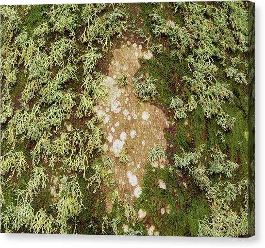 Lichen And Moss On Beech Tree Canvas Print by Simon Fraser/science Photo Library