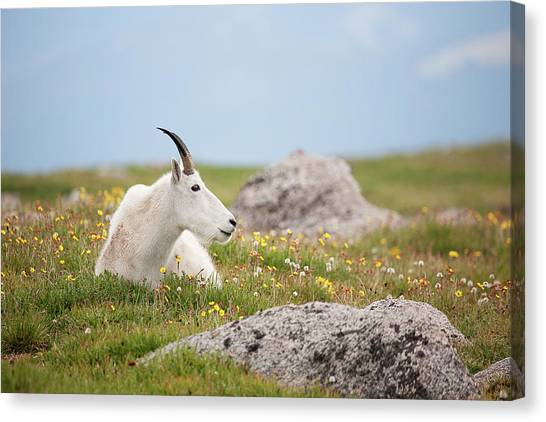 Lie Down In Green Pastures Canvas Print