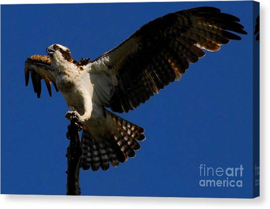 Osprey Canvas Print - Lift Off by Quinn Sedam