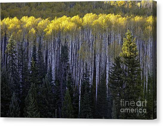 Light In The Canopy Canvas Print