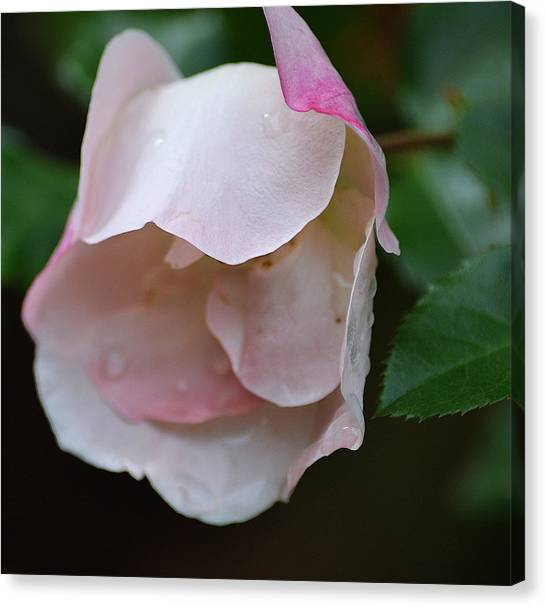 Light Pink Canvas Print by Joe Bledsoe
