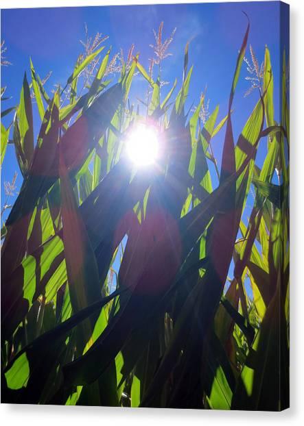 Corn Maze Canvas Print - Light Through The Corn Maze by Brooke Finley