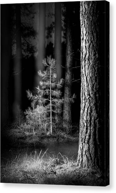 Lightpainting The Pine Forest New Growth Canvas Print