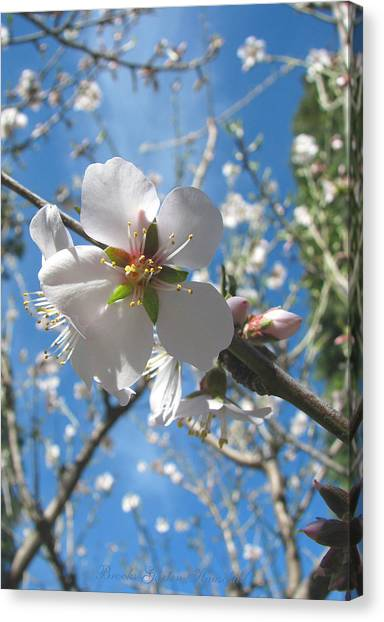 Like Stars In The Sky - Almond Blossoms Of Spring Canvas Print