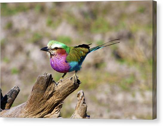 Southern Africa Canvas Print - Lilac Breasted Roller (coracias Caudata by Miva Stock