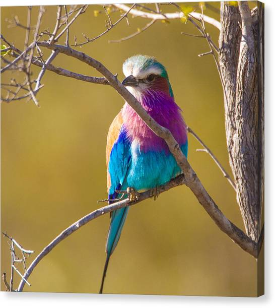 Lilac Breasted Roller Canvas Print by Craig Brown