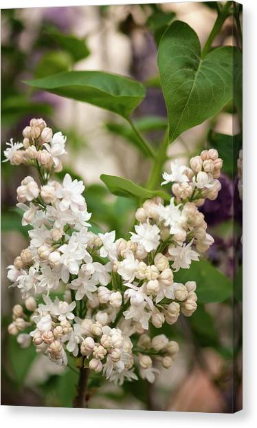 Lilac (syringa Vulgaris 'beauty Of Moscow') In Flower Canvas Print by Maria Mosolova/science Photo Library