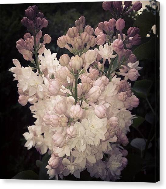 White Canvas Print - Lilacs Are Blooming by Christy Beckwith