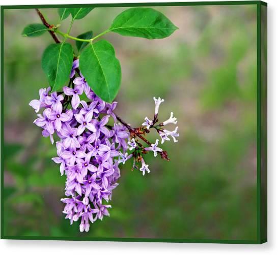 Lilac Bush Canvas Print - Lilas Au Printemps - Springtime Lilacs by Nikolyn McDonald