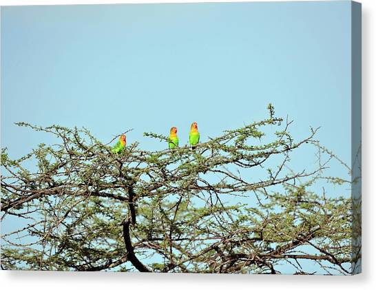 Lovebirds Canvas Print - Lilian's Lovebirds In A Tree by Dr P. Marazzi/science Photo Library