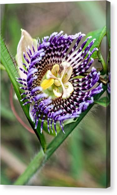 Passionfruit Canvas Print - Lilikoi Flower by Dan McManus