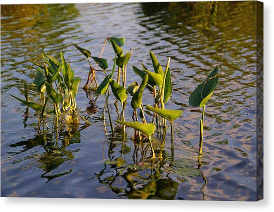 Lillies In Evening Glory Canvas Print