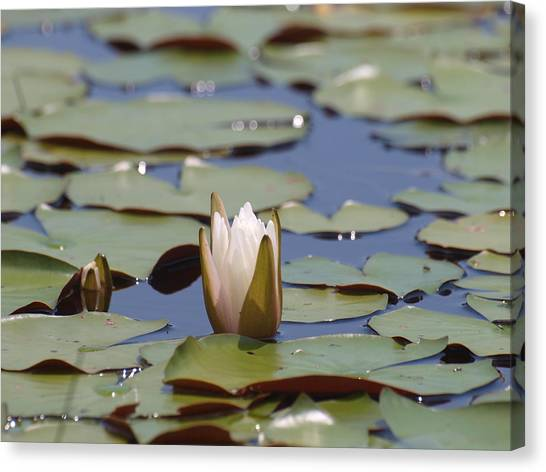 Lilly Pad With Bloom Canvas Print by Daralyn Spivey