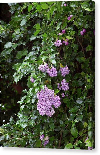 Lilac Bush Canvas Print - Lilly-pilly Tree (syzygium Smithii) by Bob Gibbons/science Photo Library