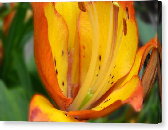 Lily - Close Up Canvas Print