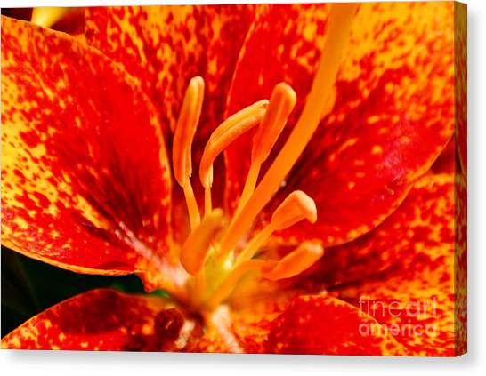 Lily Fire Canvas Print