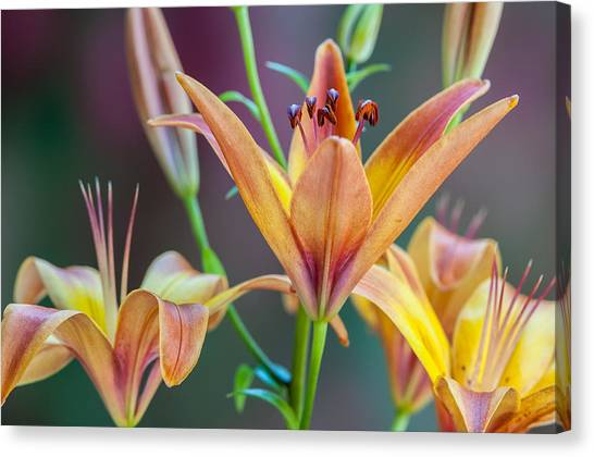 Lily From The Garden Canvas Print