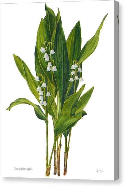 Lily Of The Valley - Convallaria Majalis Canvas Print