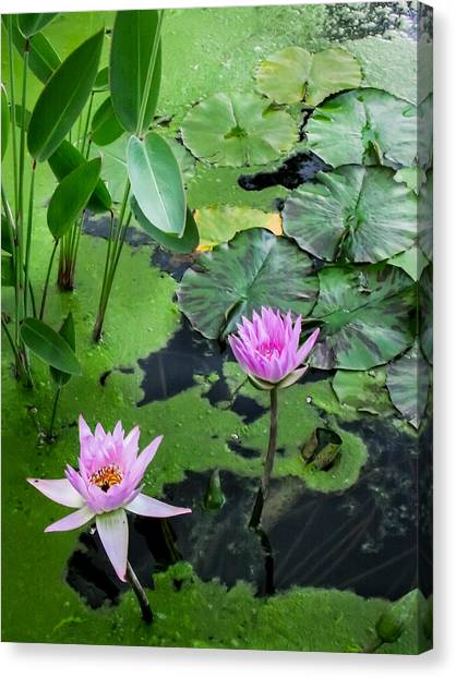 Lily Pads And Flowers Canvas Print