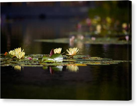 Lily Pond Canvas Print - Lily Pond by Peter Tellone