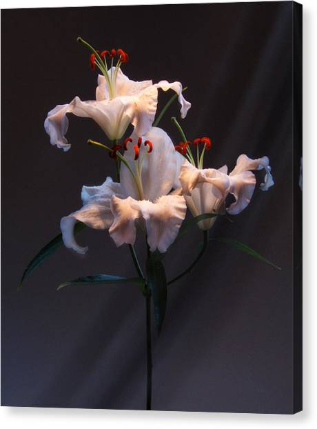 Lily Variation #01 Canvas Print