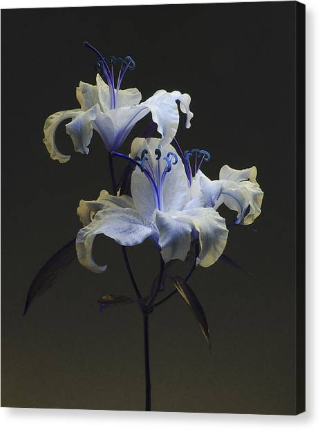 Lily Variation #03 Canvas Print
