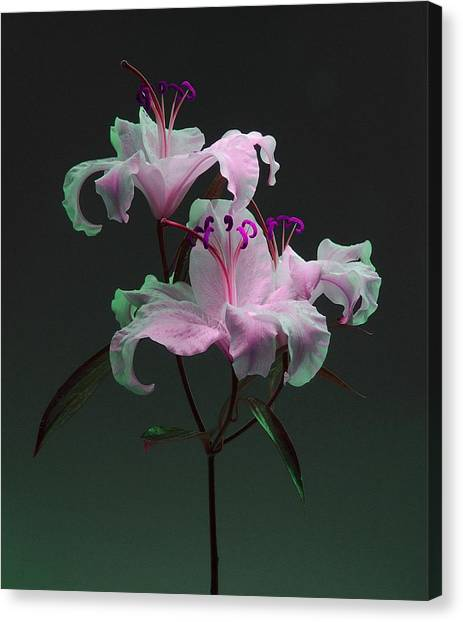 Lily Variation #04 Canvas Print