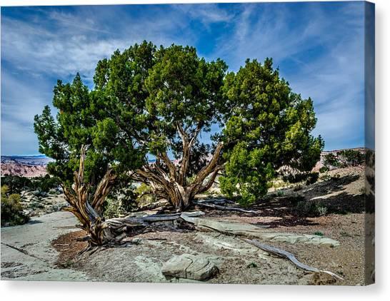 Limber Pine Canvas Print