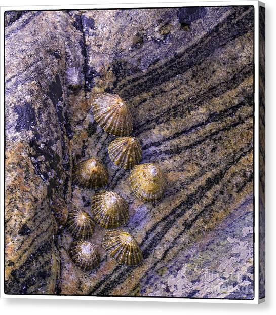 Limpets On Rocks Canvas Print by George Hodlin