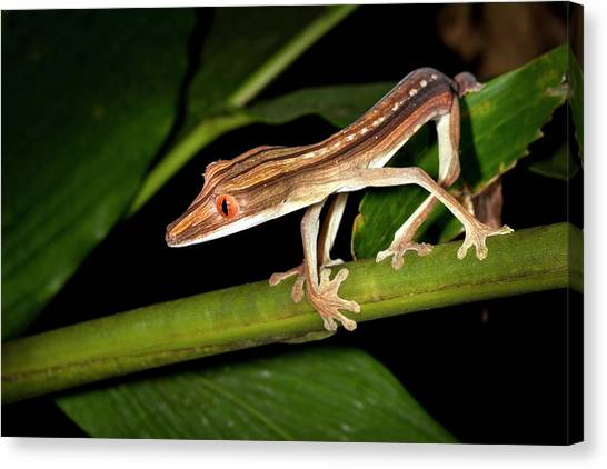 Tropical Rainforests Canvas Print - Lined Flat-tail Gecko by Alex Hyde