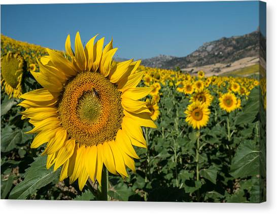 Lined Up Yellows Canvas Print