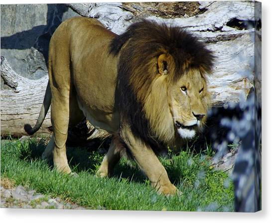 Lion 1 Canvas Print