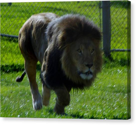 Lion 4 Canvas Print