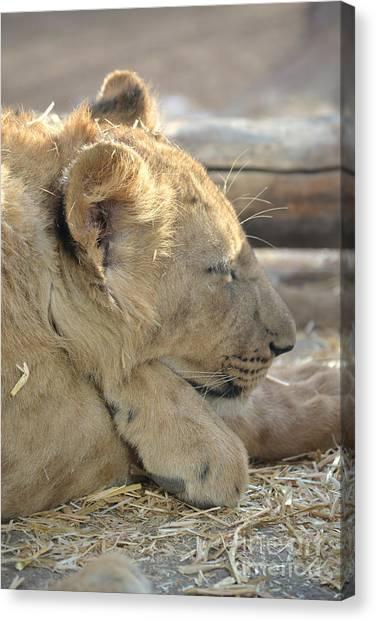 Lion Cub Dozing In The Sun Canvas Print