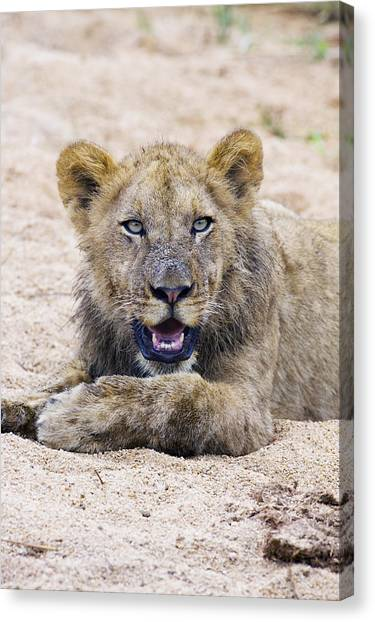 Lion Cub In Dry River Bed Canvas Print by Sean McSweeney