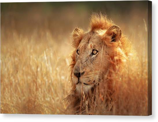 Camouflage Canvas Print - Lion In Grass by Johan Swanepoel