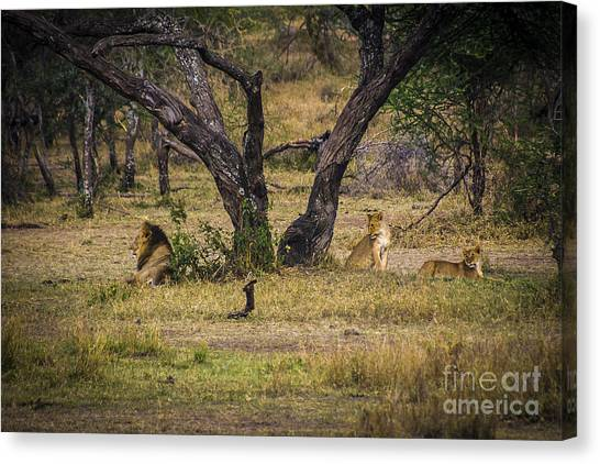 Lion In The Dog House Canvas Print by Darcy Michaelchuk