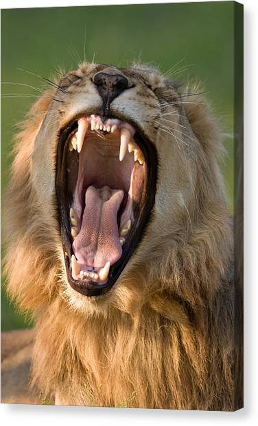 Teeth Canvas Print - Lion by Johan Swanepoel