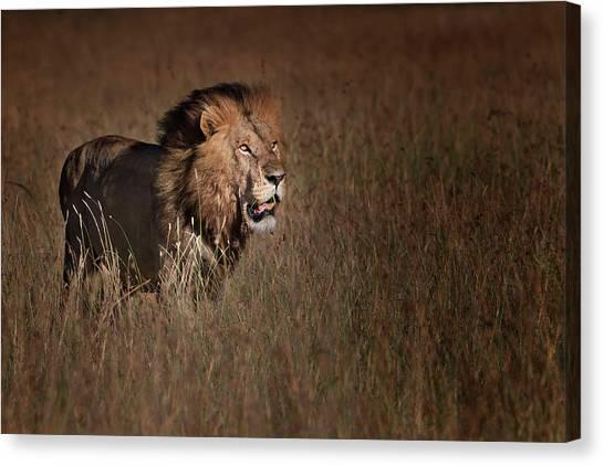 Kenyan Canvas Print - Lion King by Phillip Chang