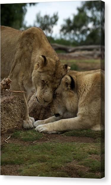 Lion Smooch Canvas Print by Graham Palmer