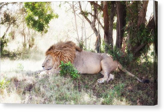 Lion Snoozing In The Afternoon Canvas Print