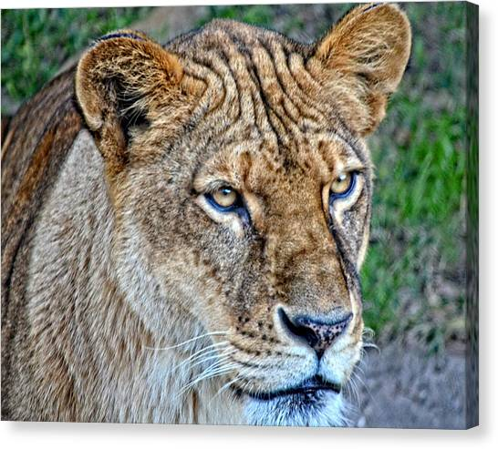 Lioness Deep In Thought Hdr Canvas Print