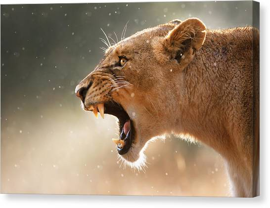 Rain Canvas Print - Lioness Displaying Dangerous Teeth In A Rainstorm by Johan Swanepoel