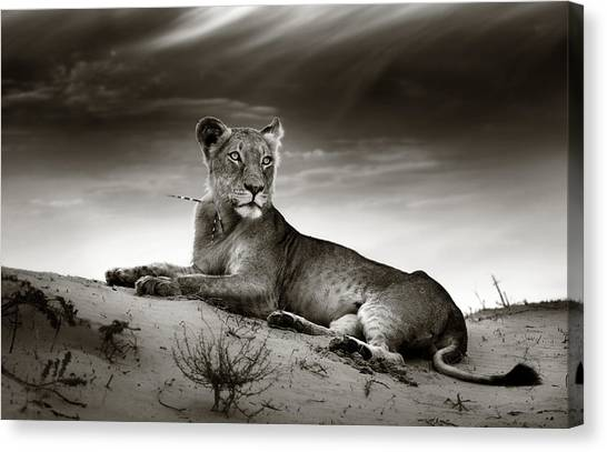 Black Top Canvas Print - Lioness On Desert Dune by Johan Swanepoel